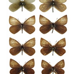 Lymanopoda caracara