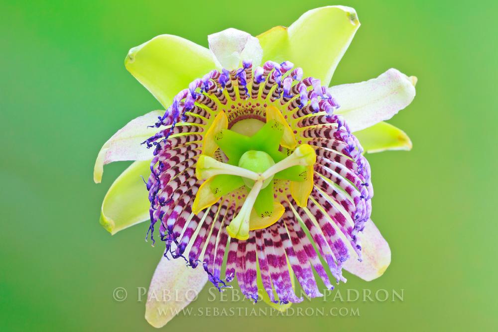 Passiflora ligularis - Ecuador
