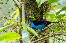 Tangara chilensis - Ecuador