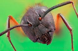 Hormiga 4 - Ecuador