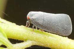 Flatidae Ecuador