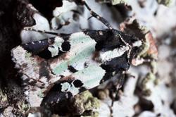 Lichen moth - Ecuador