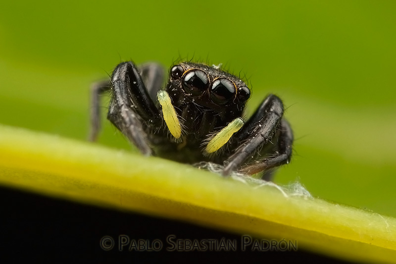 Salticidae 8 - Ecuador