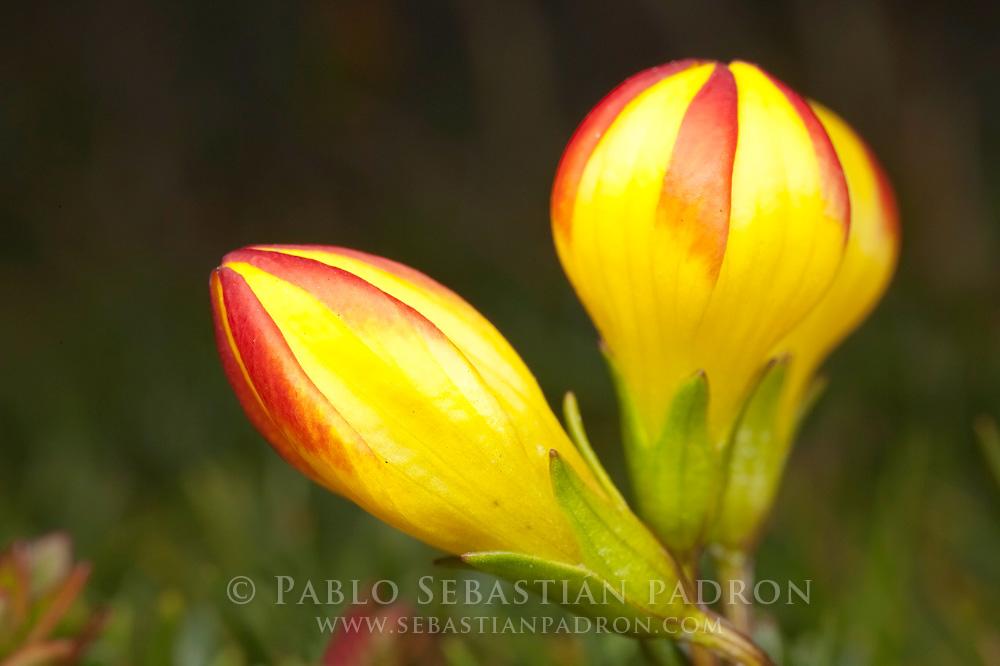 Gentianella hirculus 3 - Ecuador
