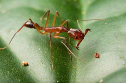 Odontomachus  sp 2