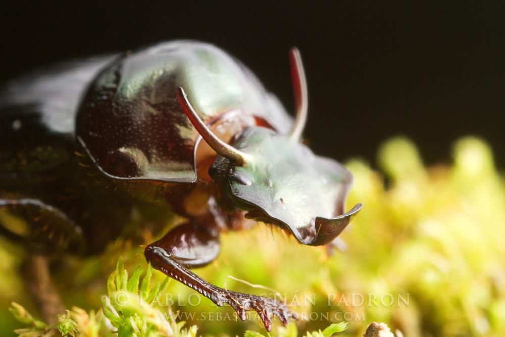 Onthophagus sp. -  Ecuador