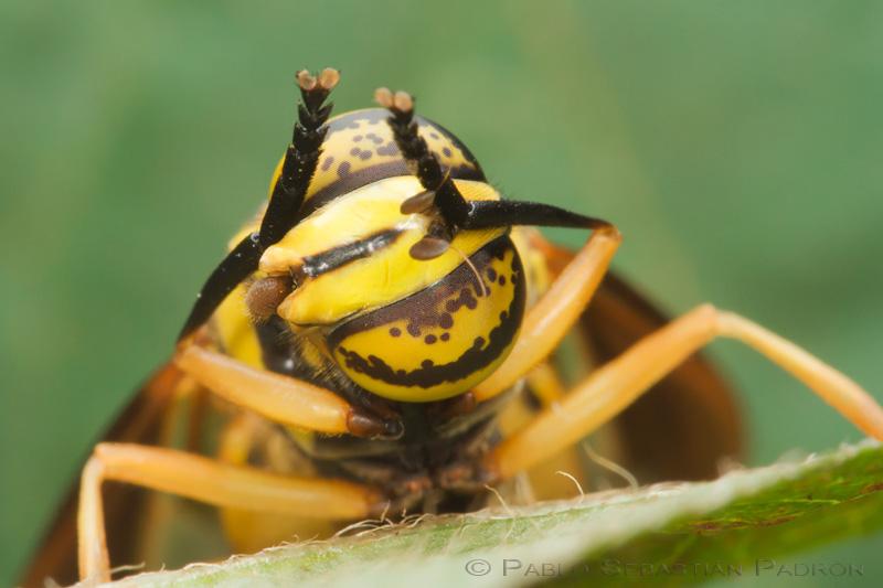 Syrphidae 2 -  USA