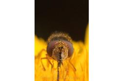 Syrphidae 1 - Ecuador