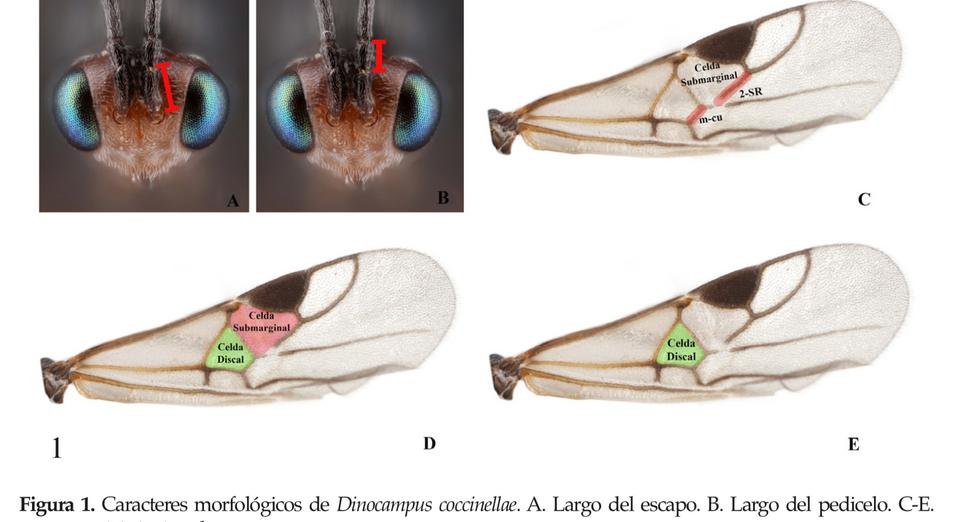 Dinocampus coccinellae