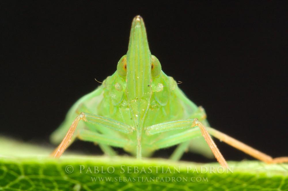 Fulgoridae Gainesville Fl