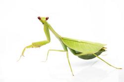 Pseudoxyops perpulchra