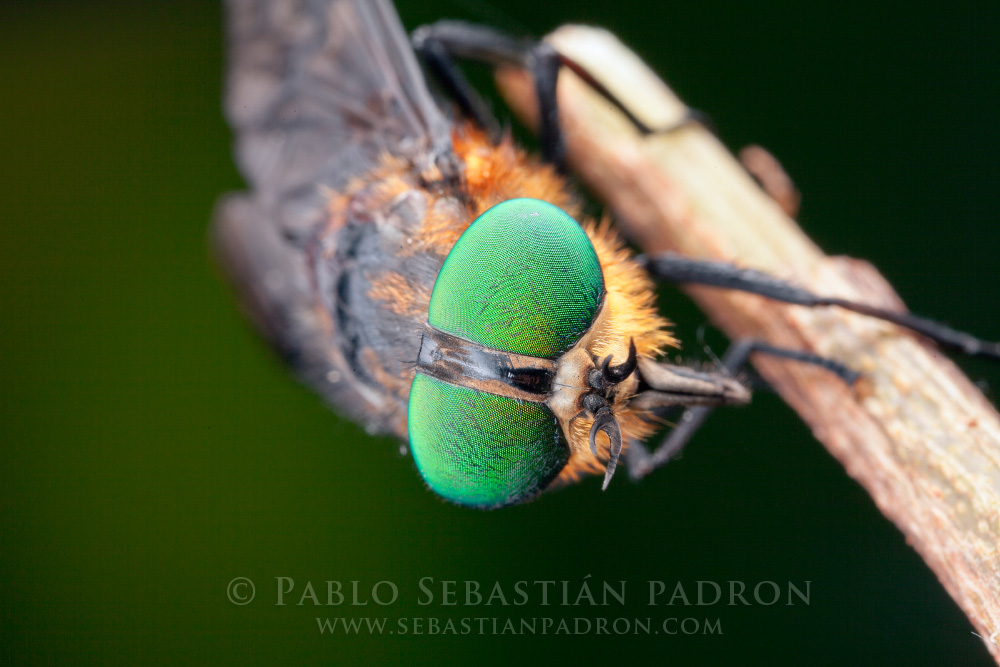 Tabanidae 2 - Ecuador