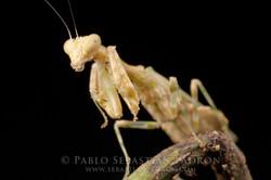 Mantis Ecuador