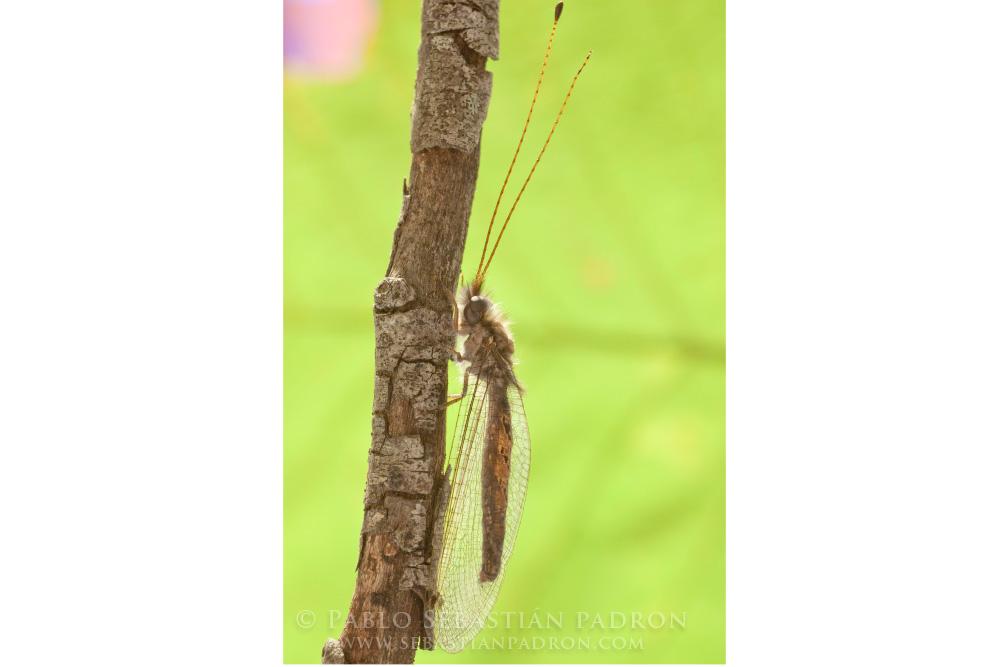 Ascalaphidae Gainesville Fl.