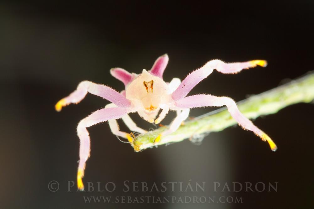Epicadus heterogaster 2- Ecuador