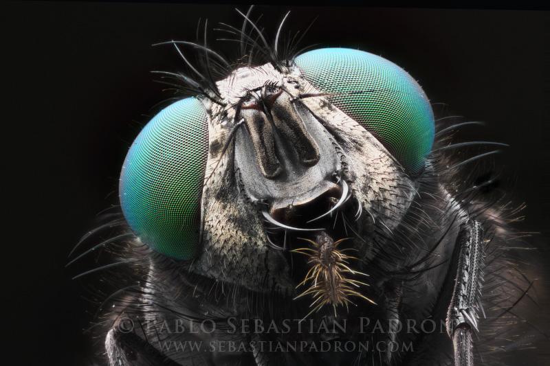 Calliphoridae - Ecuador