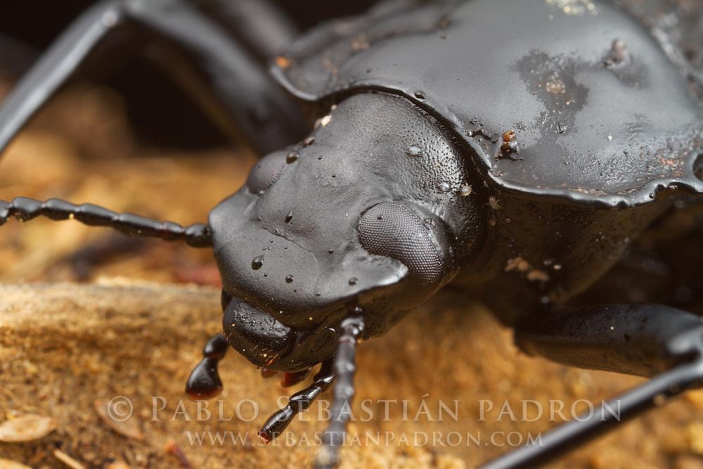 Tenebrionidae - Ecuador