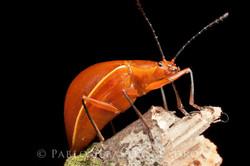 Homoeotelus sp. - Ecuador