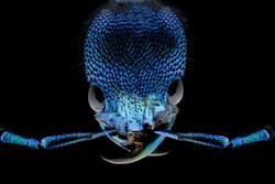 Plochinocerus