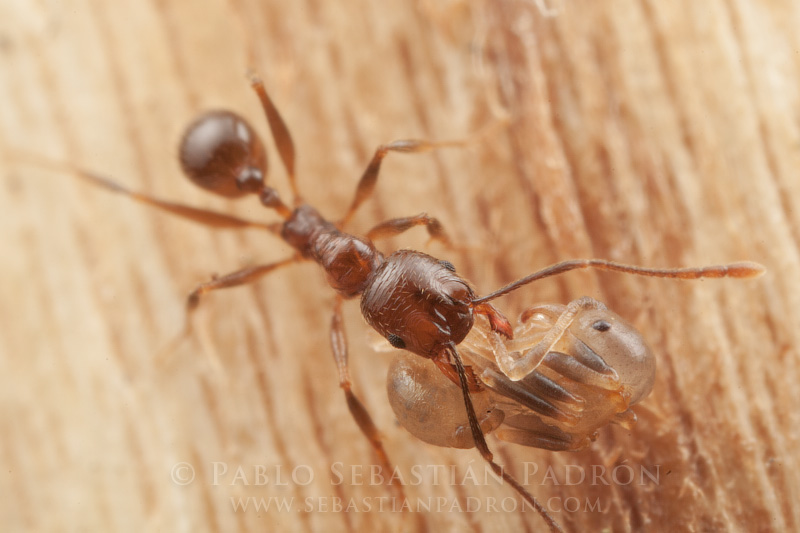 Hormiga 2 - Ecuador