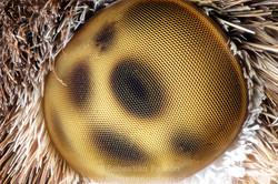 Ojo de una polilla colibrí del género Ae