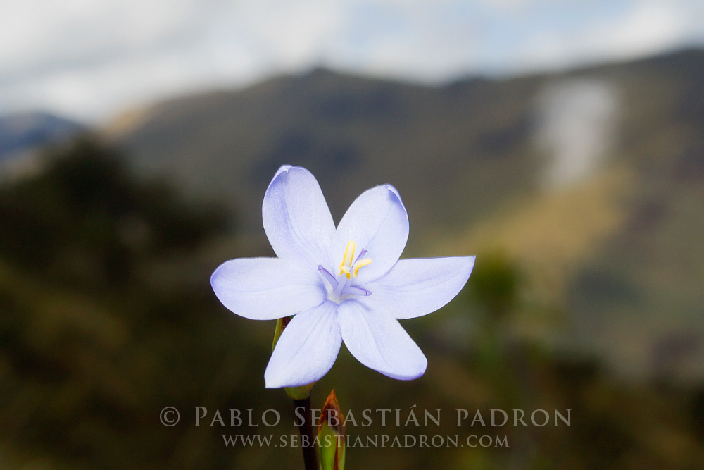 Flower 5 - Ecuador