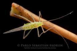 Aphidae Ecuador