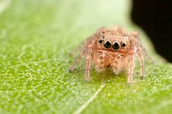 Salticidae 6 - Ecuador