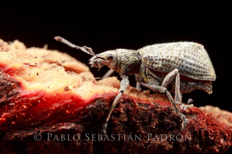 Curculionidae 2 - Ecuador