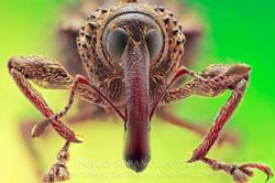 Curculionidae Ecuador