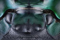 Detalle de la cabeza  de un escarabajo pelotero