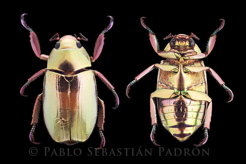 Chrysina argenteola - Ecuador