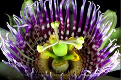Passiflora sp. - Ecuador