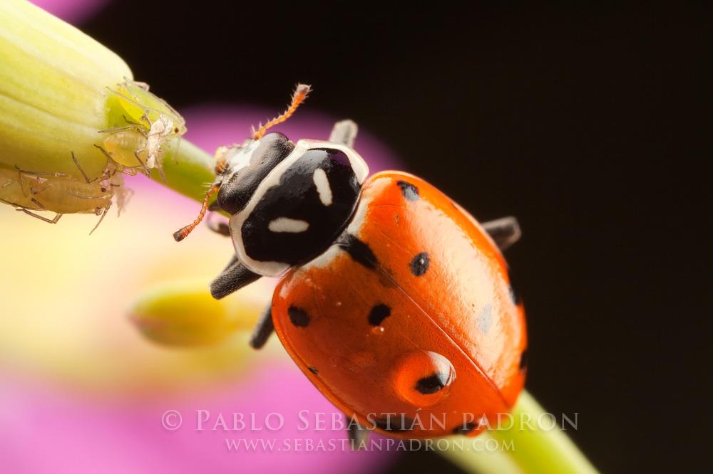 Coccinellidae - Ecuador
