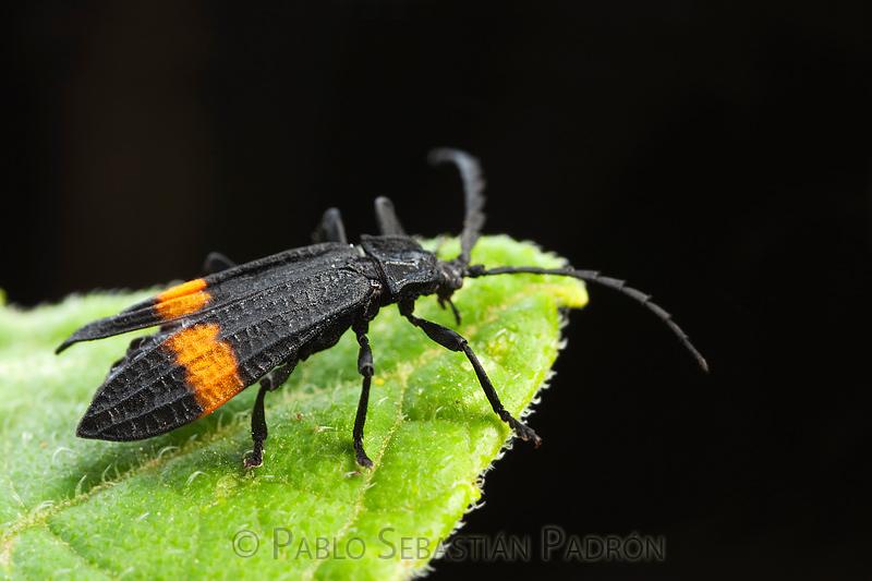 Lycidae- Ecuador