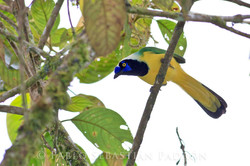 Cyanocorax yncas - Ecuador