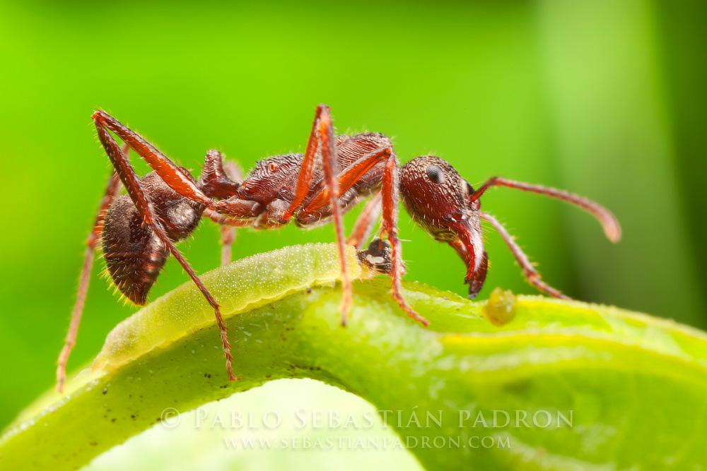 Ectatomma sp. y Riodinidae Ecuador