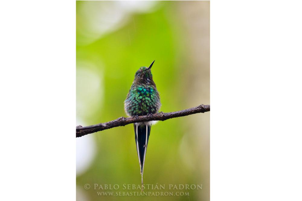 Colibri 1 Ecuador