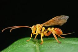 Ichneumonidae 3 - USA