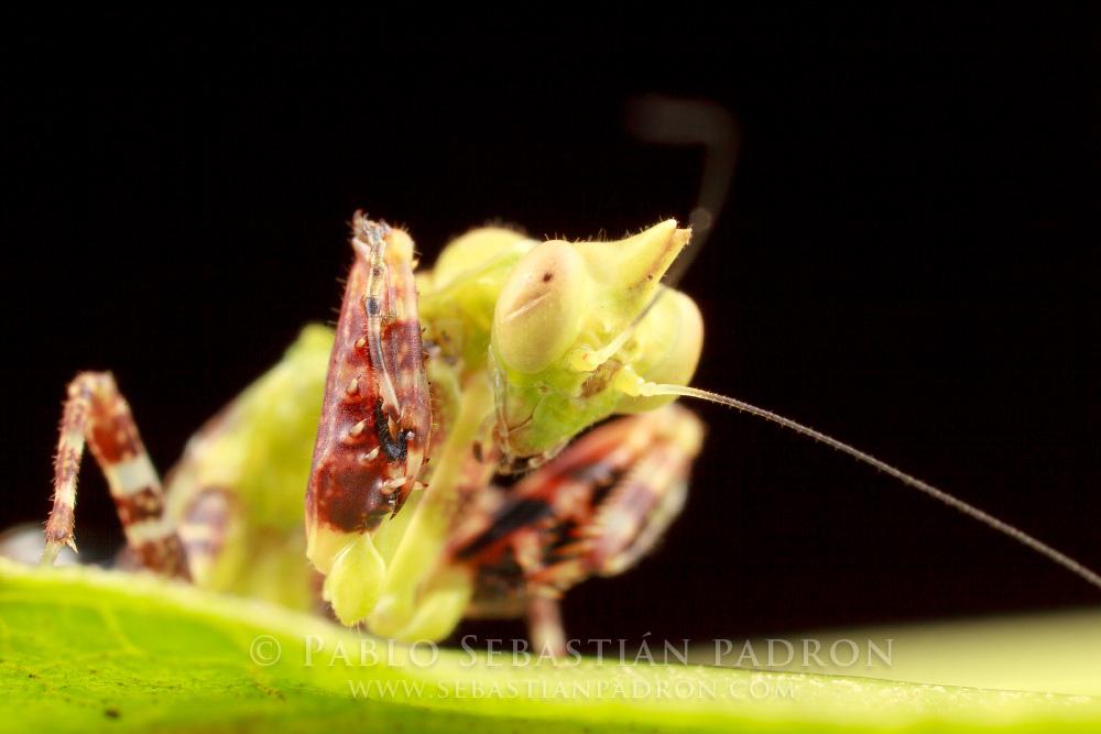 Mantis 2 Ecuador