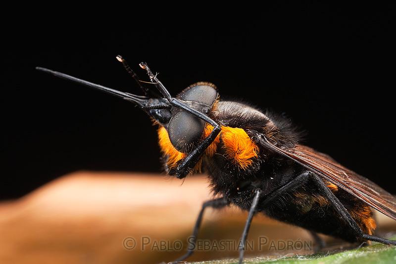 Bombilidae 1- Ecuador
