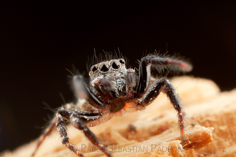 Salticidae 10- Ecuador