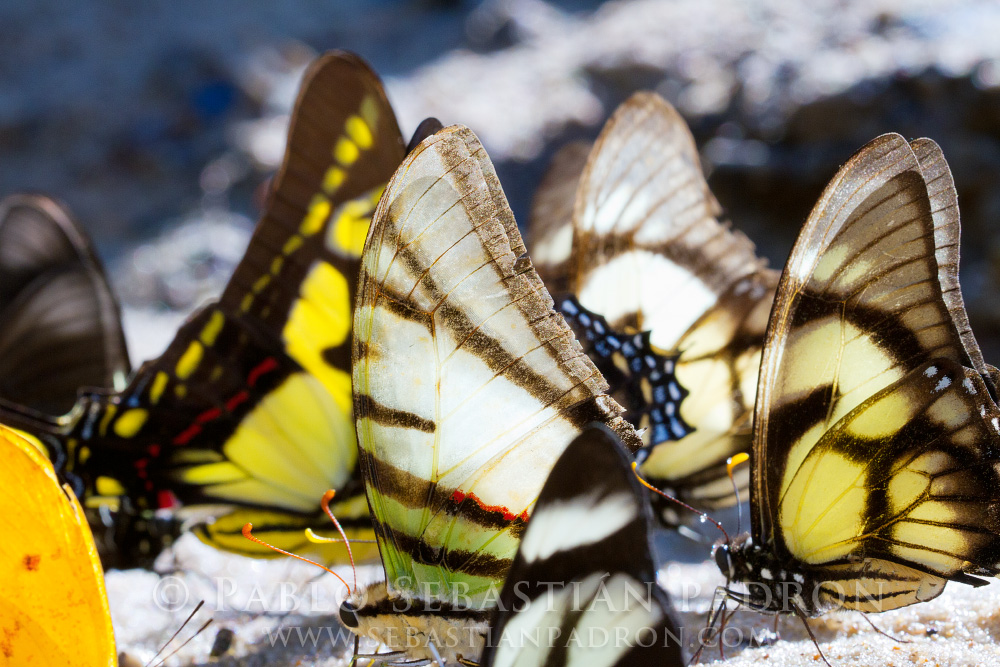 Papilionidae - Ecuador