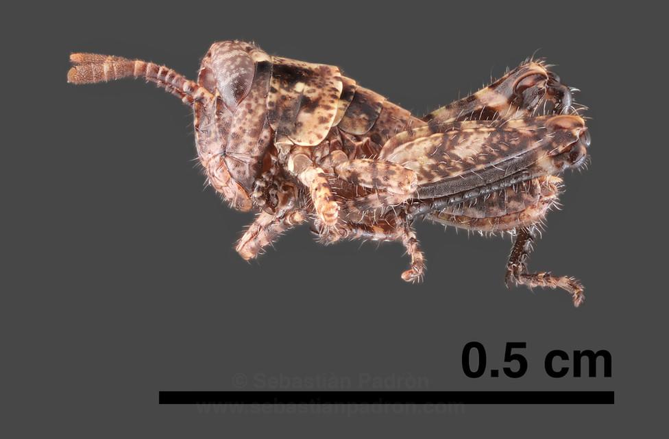 Orthoptera.jpg