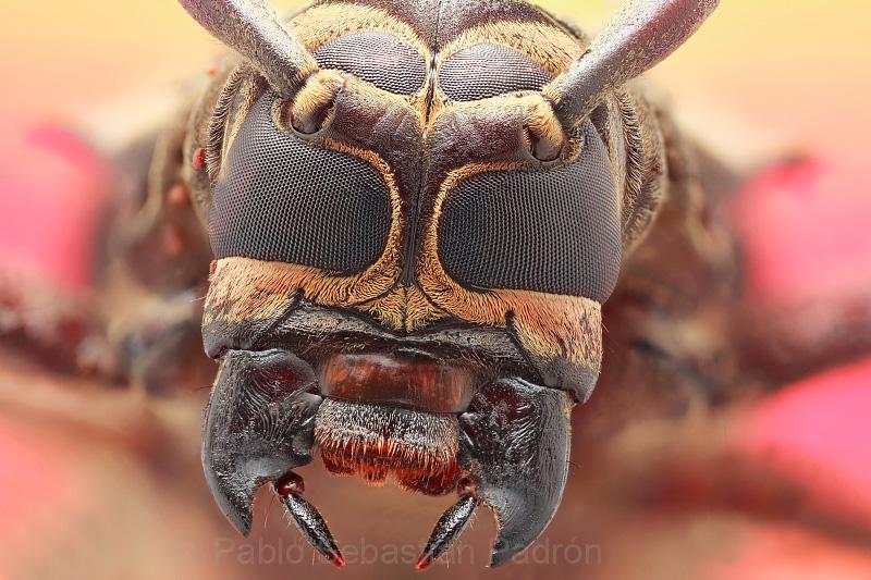 Acrocinus longimanus  - Ecuador