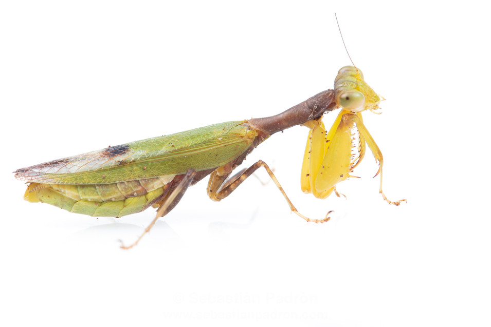 Acontista sp. Female