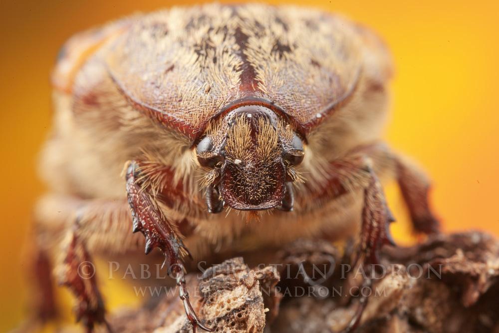 Cetoniinae - USA