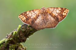 Geometridae - Ecuador