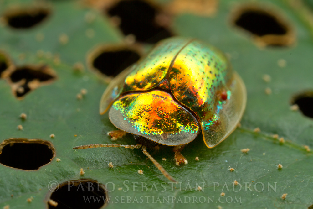 Cassidinae 1 - Ecuador