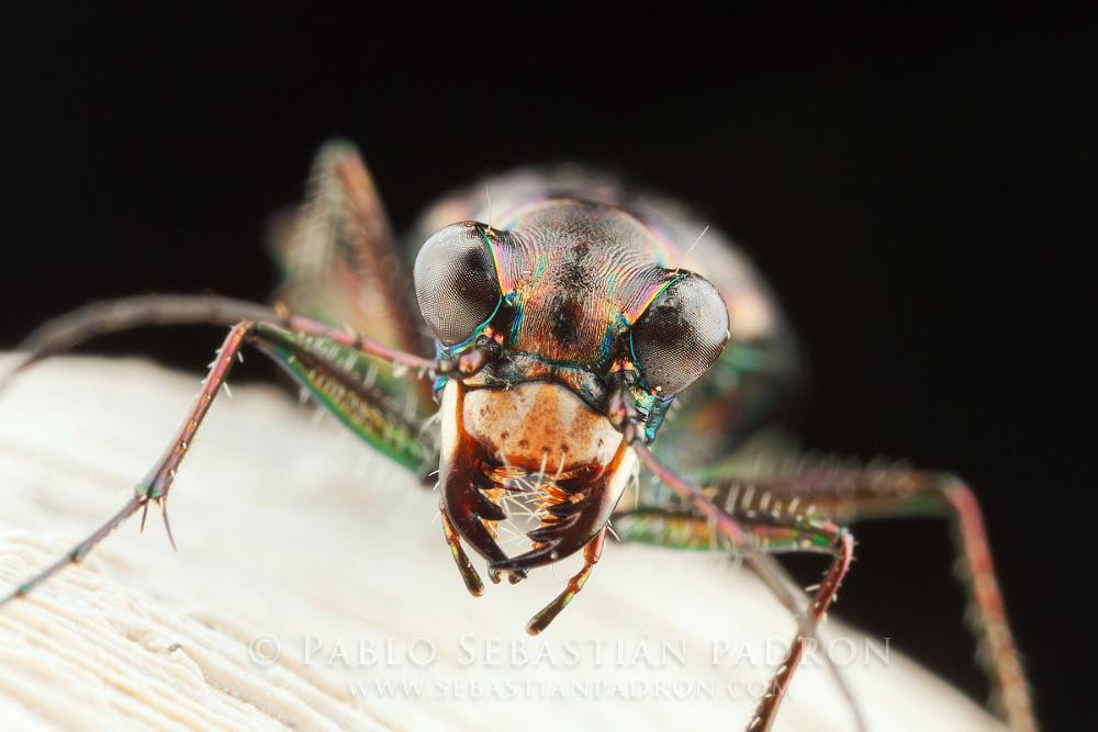 Cicindelidae 1 - USA
